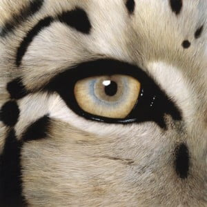 closeup tan and blue eye of white cheetah